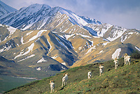 Dall sheep rams stand alert on a mountain ridge overlooking Polychrom mountains, Denali National Park, Alaska.