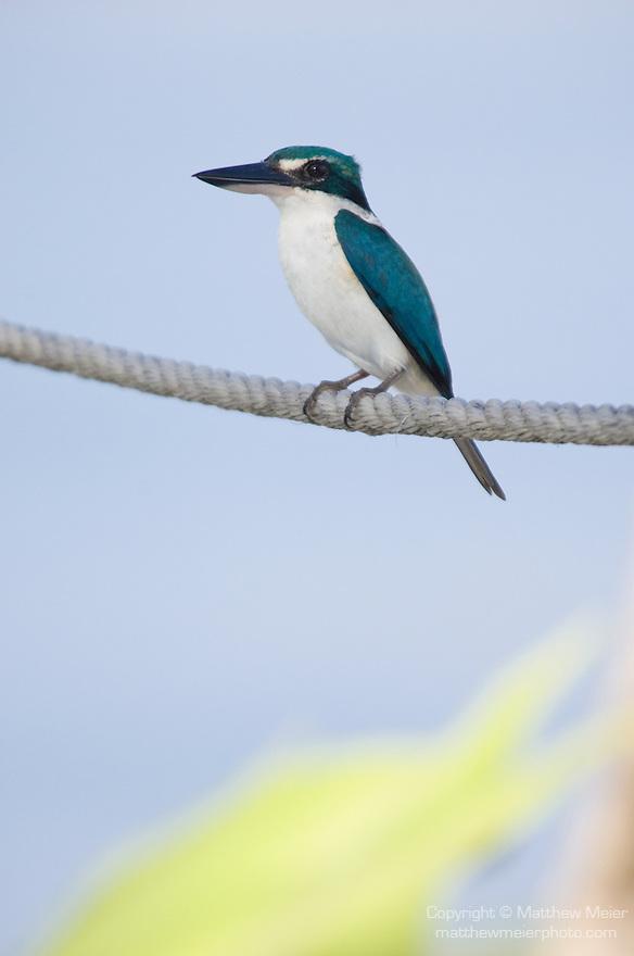 Taveuni, Fiji; a female Collared Kingfisher (Todiramphus chloris) bird sits on a rope near the edge of a swimming pool
