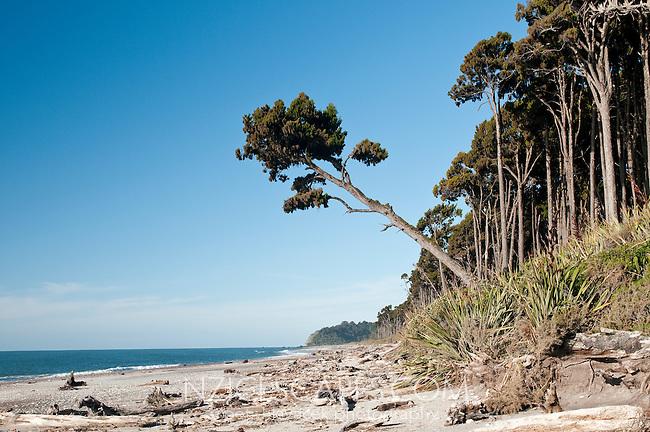 Bruce Bay and kahikatea trees - South Westland