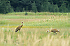 Sandhill Cranes (Grus canadensis) in Meadow, Lake Clark National Park, Alaska