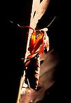 Leaf Mantis, Deroplatys dessicata or lobata, showing front legs, backlight.Malaysia....