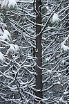 Snow covered tree branches after a snowfall