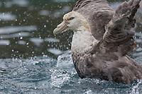 Preening in the water