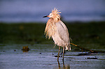 Reddish egret, Everglades National Park, Florida