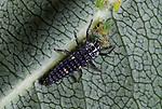 7 Spot Ladybird larvae feeding on aphid, coccinella septempunctata, garden, predator, .United Kingdom....