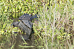 Brazoria County, Damon, Texas; a large, adult American Alligator (Alligator mississippiensis) warming itself in the sun, while resting on the bank at the edge of the slough