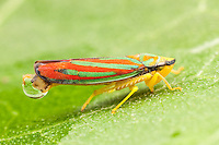 Red-banded Leafhopper (Graphocephala coccinea), Ward Pound Ridge Reservation, Cross River, Westchester County, New York