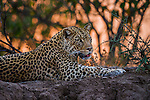 Leopard, Mashatu Reserve, Botswana<br />