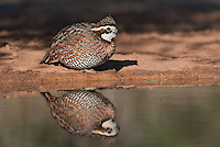 509250096 wild northern bobwhite colinus virginianus drink at a small pond on beto gutierrez santa clara ranch hidalgo county lower rio grande valley texas united states