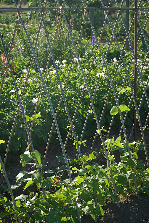 Young runner bean plants climbing up cane supports, mid June.