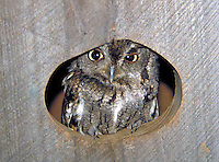 An eastern screech owl peers out of a nesting box in Saline County, Arkansas.