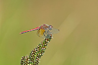 362700001 a wild male band-winged meadowhawk symeptrum semicinctum perches on a plant on pintail slough in havasu national wildlife refuge mojave county arizona united states