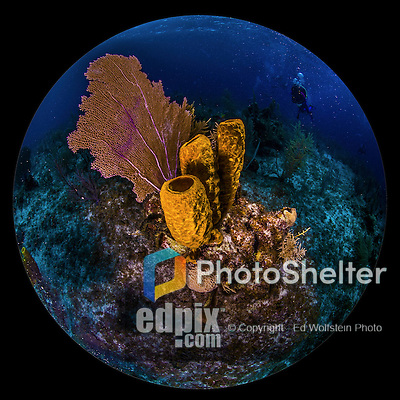 12 June 2014: A Venus Sea Fan (Gorgonia flabellum) and Sponges are seen on the reef at Conch Pointe, on the North Shore of Grand Cayman Island. Located in the British West Indies in the Caribbean, the Cayman Islands are renowned for excellent scuba diving, snorkeling, beaches and banking.  Mandatory Credit: Ed Wolfstein Photo *** RAW (NEF) Image File Available ***