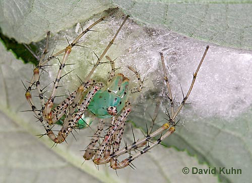 "0922-07ww  Green Lynx Spiderling guarding egg case ""egg sac""  - Peucetia viridans  ""Eastern Variation"" - © David Kuhn/Dwight Kuhn Photography"