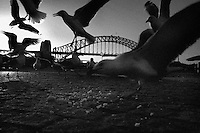Sea gulls feed on the remains of a muffin near circular Quay, Sydney, Australia