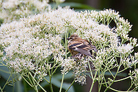 Goldfinch juvenile bird eating native plant Eupatorium purpureum 'Joe White' seeds in garden plant