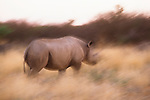 Black rhinoceros, Tswalu Private Desert Reserve, South Africa