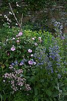 Summer border at Haddon Hall with roses (Rosa), masterwort (Astrantia) and Jacob's Ladder (Polemonium)