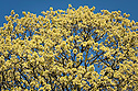 Small yellow flowers appear before new-season leaves, Hungarian or Italian maple (Acer obtusatum), late March.