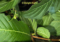 OR14-542z  Leaf Insect female camouflaged, Phyllium spp., Phillipines