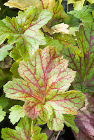 Heuchera Electric Lime in autumn fall, perennial foliage plant