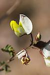 Baby bonnets (Samota), Coursetia microphylla (Coursetia glandulosa), Organ Pipe Cactus National Monument, Arizona.