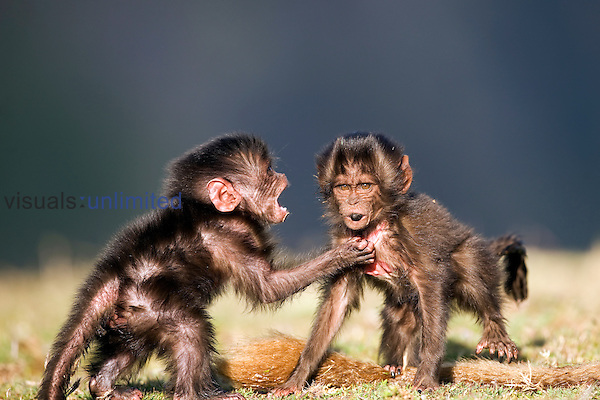 Gelada infants aged 1-3 months playing together (Theropithecus gelada), Simien Mountains National Park, Ethiopia.