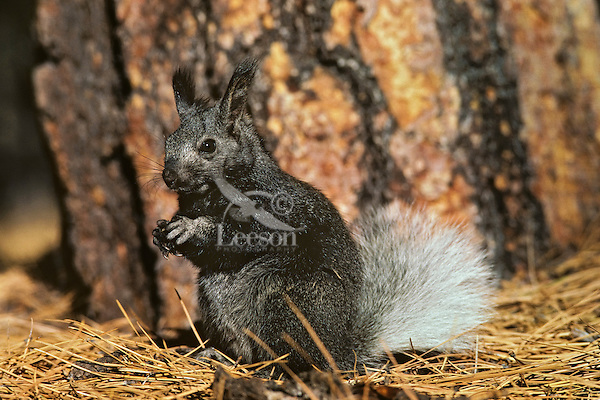 Tassel eared squirrel