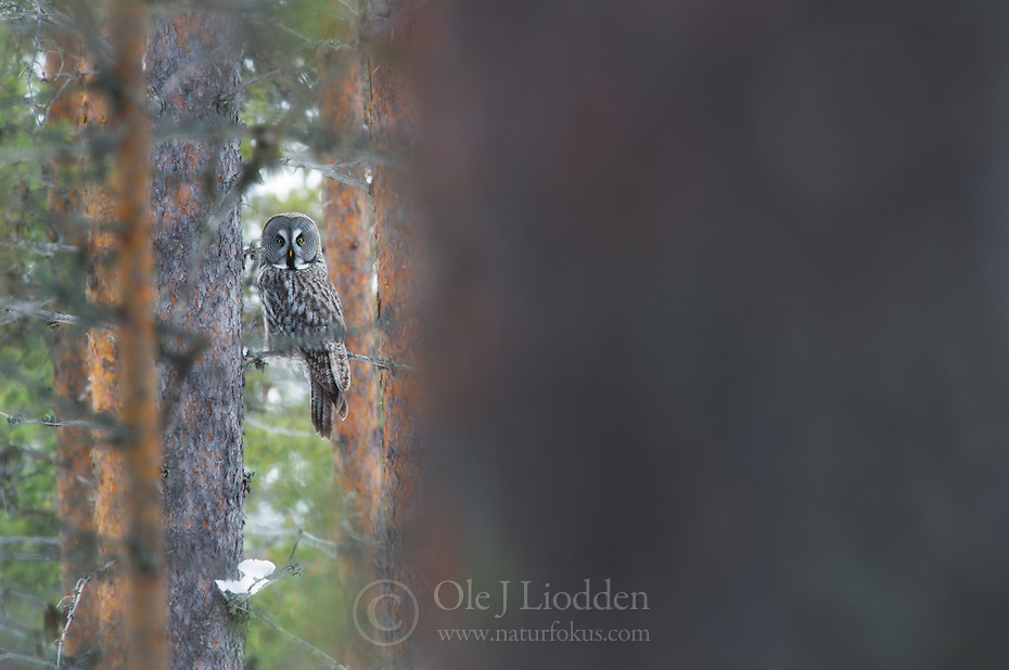 Great Grey Owl (Strix nebulosa) in Lappland, Finland