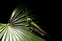 August 2nd, 2012_Hong Kong, China_ A Large Green Grasshopper (Chondracris rosea) sits on a leaf at night in the Sai Kung area of Hong Kong.  Photographer: Daniel J. Groshong/The Hummingfish Foundation
