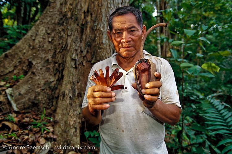 Native Sharanahua Indian at the base of a rare mahogany tree (Siwetenia macrophylla), holding mahogany seeds and seedpod, primary lowland tropical rainforest, Alto Purus National Park, Ucayali, Peru.