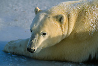 Polar bear lying in ice