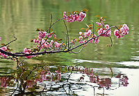 Cherry Blossoms, Branch, Brooklyn Botanic Garden,  Japanese Hill and Pond Garden, Brooklyn, New York, USA