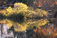 TREES REFLECTED IN LAKE: FALL FOLIAGE<br /> Brooklyn Botanical Garden- Japanese Garden<br /> In the autumn, trees stop photosynthesis. As the green chlorophyll disappears from the leaves, yellow orange and red become visible.