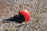 North Seymour Island, Galapagos, Ecuador; a male Magnificent frigatebird (Fregata magnificens), with his red gular sac distended to attract a mate, sits in a bush or tree , Copyright © Matthew Meier, matthewmeierphoto.com All Rights Reserved