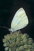 Cabbage White Butterfly (Pieris rapae), Family Pieridae, Indiana, USA.