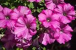 Pink_Impatiens _flower_blossom 07252016