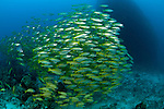 Shoal of Blueline snappers (Lutjanus kasmira) mixed with bigeye snappers, (Lutjanus lutjanus) GBR, Australia