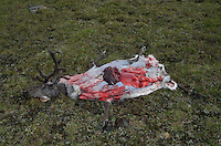 wild reindeer after hunting