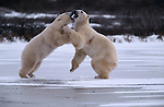 Polar bears fight on the ice, Canada.