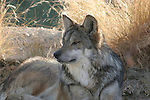 resting mexican wolf