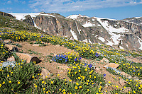 Wildflowers blooming in a high alpine environment in the Beartooth Mountains