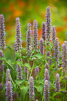 Agastache foeniculum Anise Hyssop, aromatic fragrant herb flowering in organic garden