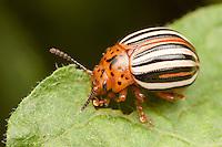 False Potato Beetle (Leptinotarsa juncta) feeding on a leaf, Ward Pound Ridge Reservation, Cross River, Westchester County, New York