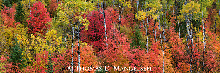 Big-tooth maple and quaking aspens brilliantly color a mountainside in Caribou-Targhee National Forest, Idaho