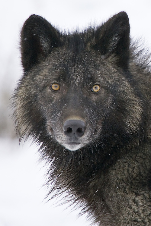Grey Wolf portrait - CA