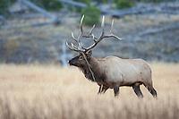 Bull elk during the rut in Wyoming