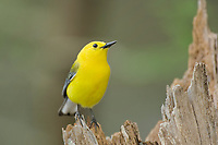 592305020 a wild male prothonotary warbler protonotaria citrea perches on a dead tree stump in martin dies jr state park jasper county texas