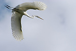 A Great Egret in flight from its perch in a tree.