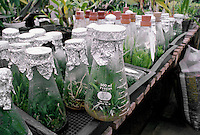 Young ORCHIDS growing in flasks at ARMACOST & ROYSTON ORCHID FARM - SANTA BARBARA, CALIFORNIA